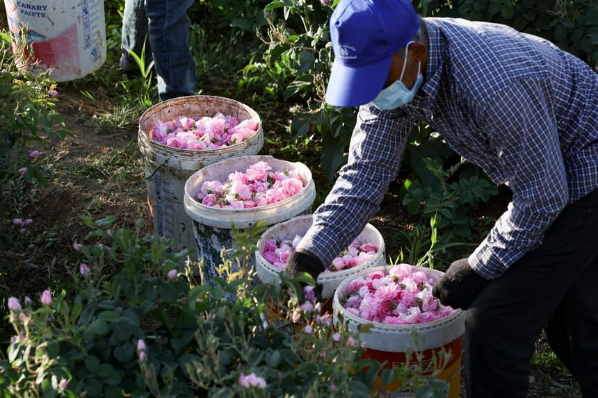 A worker at the Bin Salman farm picks Damascena (Damask) roses to produce rose water and oil, on April 11, 2021.