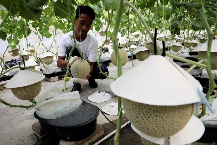 """The farmers at Malaysian company Mono Premium Melon regularly rub the melons with a soft cloth or glove, a practice called """"tama-fuki""""."""