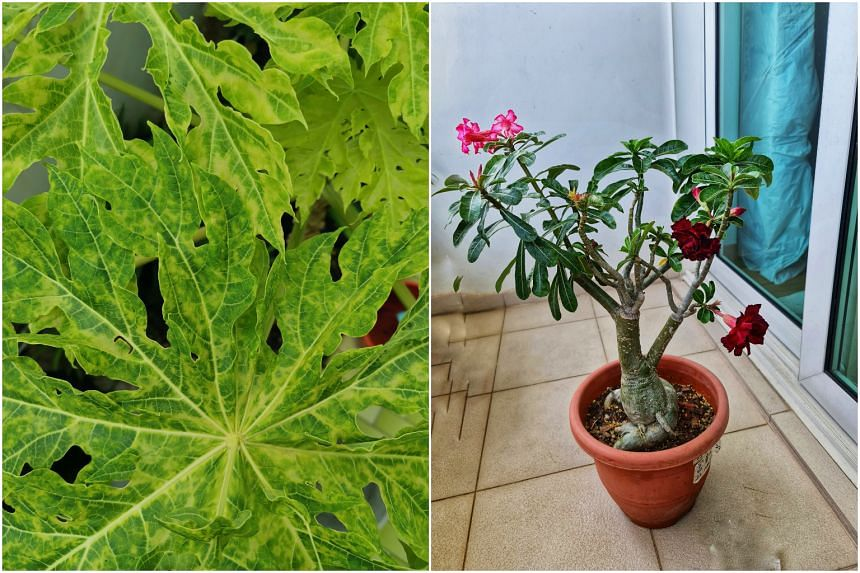 An infected papaya plant (left) and a grafted desert rose.