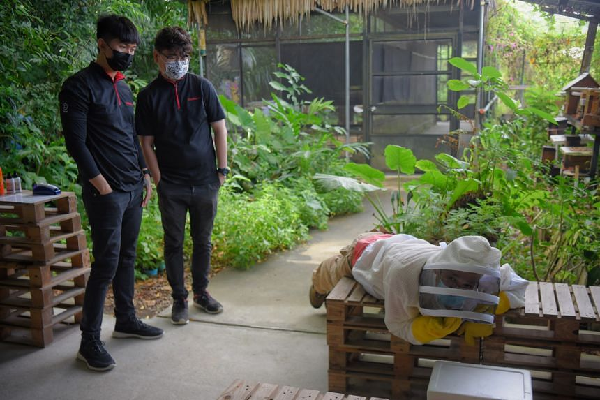 At Bee Amazed Garden, Mr Chong demonstrates how to reach for hives in tight spaces as Origin's project manager Elric Tan (centre) and employee Maher Gandhi look on. Beehives can be found in places such as false ceilings and even the interior of air-