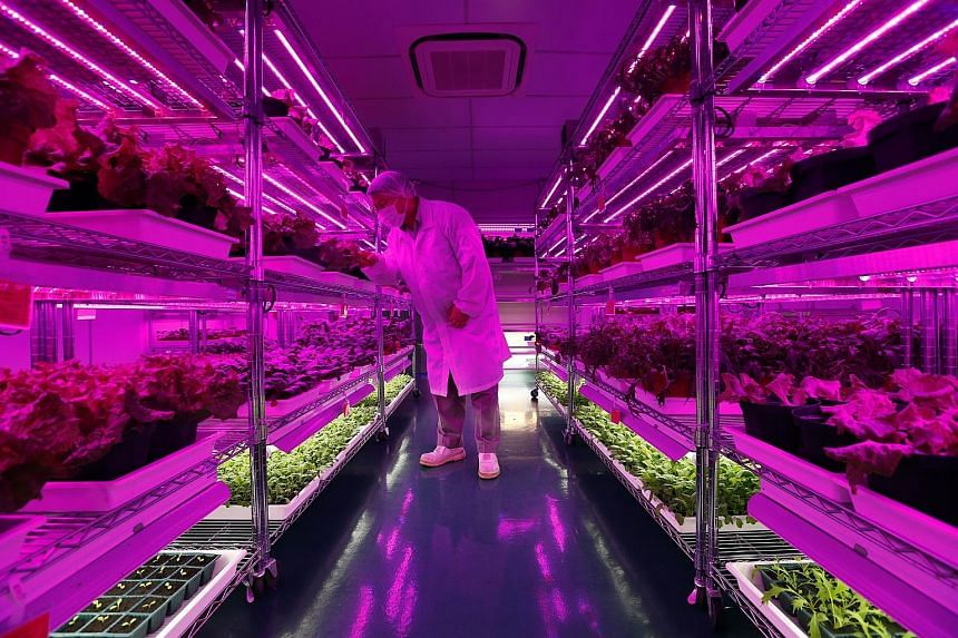 An indoor soil-based farm at Panasonic's factory in Jurong. A proposal by researchers from the Nanyang Technological University and Panasonic Factory Solutions aims to find out how the real-time monitoring of crop health and nutrient analysis can hel