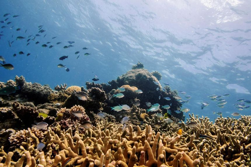 In a photo from Oct 25, 2019, assorted reef fish swim above a staghorn coral colony as it grows on the Great Barrier Reef off the coast of Cairns.