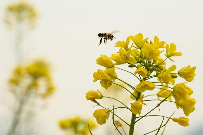 The extending of the bees' straw-like tongues to drink is confirmation of a positive coronavirus test result.