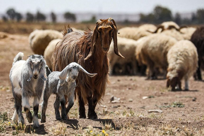 Goats grazing in the village of Ghezlaniah, in the countryside of the Badia region in Syria, on April 15, 2021.