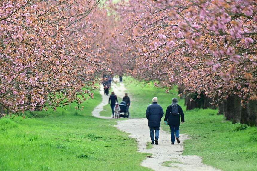 People walk along bloomimg cherry trees at the former Berlin wall in Berlin's Teltow district on May 6, 2021.