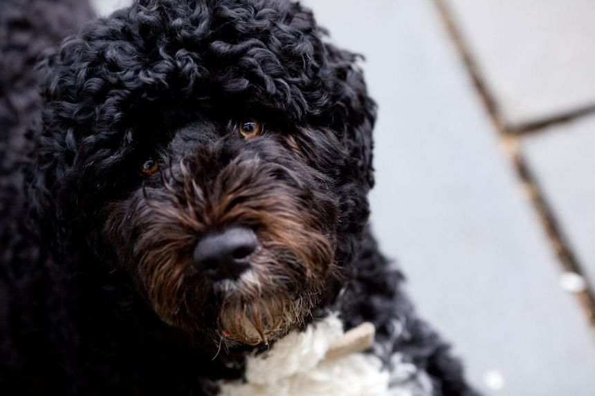 A photo of Bo posted to former US president Barack Obama's Twitter feed.