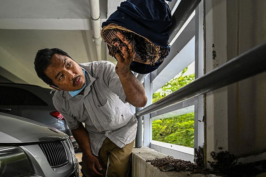 Malaysian Ooi Leng Chye transferring rescued bees from their honeycomb into a rattan basket. He belongs to a group that saves bees and their nests when they are discovered in cities. This particular mission took place in the carpark of an apartment b