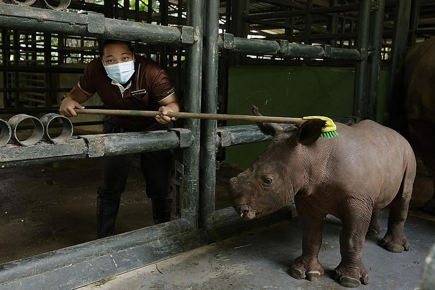 A baby rhinoceros getting a scrub from his keeper, Ms Siti Nurindah Aliyah Ali. From this month to August, Zoo Explained! will be rolling out question-and-answer sessions with the keeper, and with animal trainers behind the Animal Friends Show.