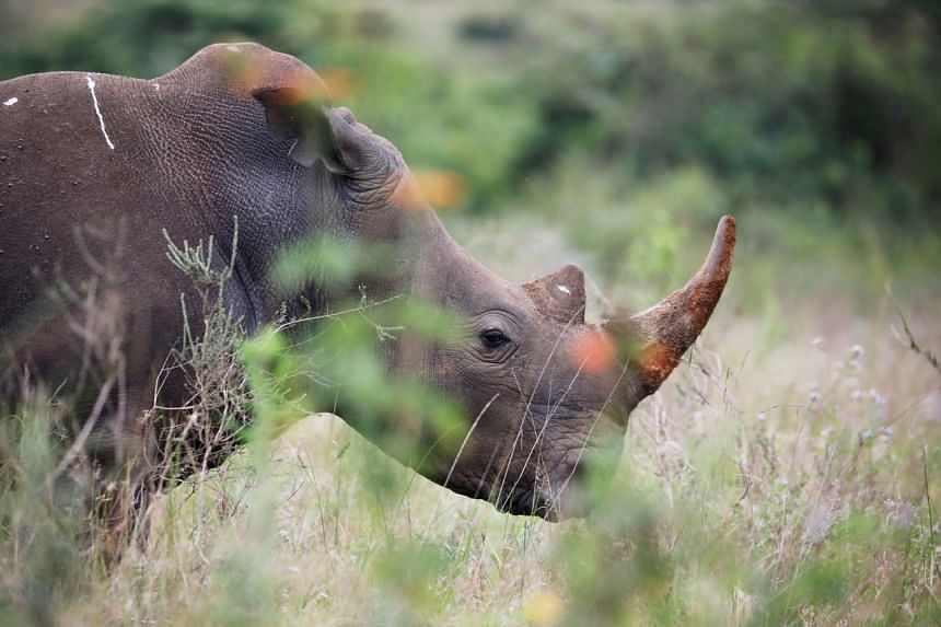 Poachers killed 394 rhinos in South Africa for their horns last year.