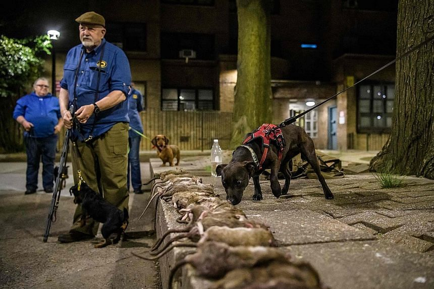 Members of the Ryders Alley Trencher-fed Society, or R.A.T.S. for short, hunting rats with their dogs in a New York neighbourhood in Lower Manhattan on May 14. They have been chasing vermin for about 30 years and have maintained their nocturnal hunts