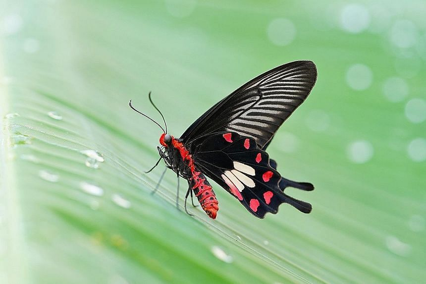The common rose butterfly. Private gardens see the largest numbers of this species.