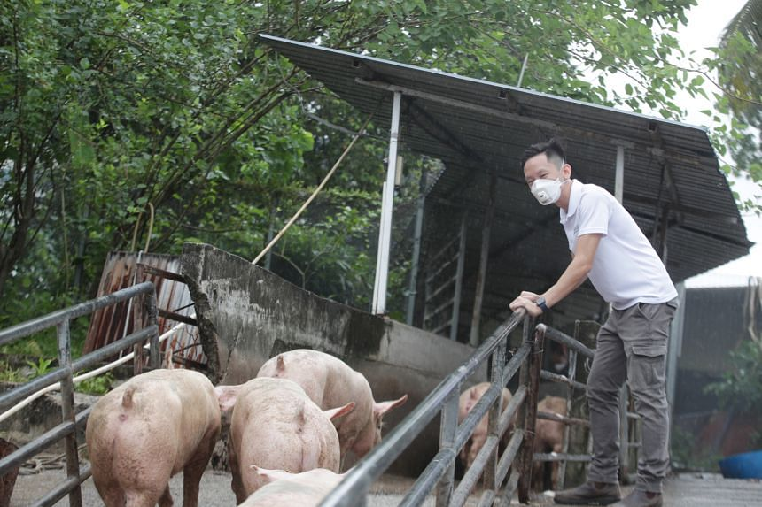 NParks vet Shawn Chia monitoring as pigs are being ferried from Indonesia.
