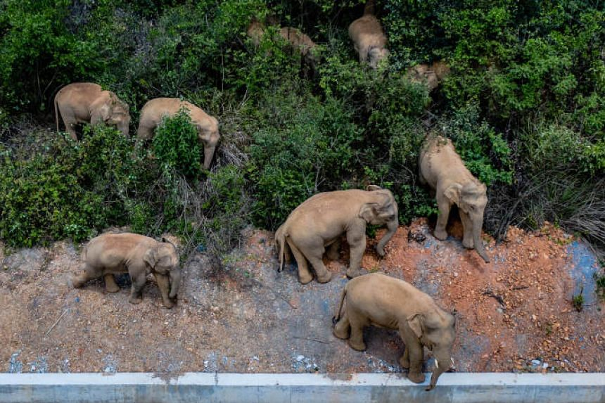 It's the farthest-known movement of elephants in China.