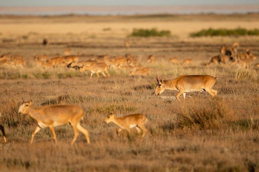 Saiga antelopes run on a prairie outside Almaty, Kazakhstan.