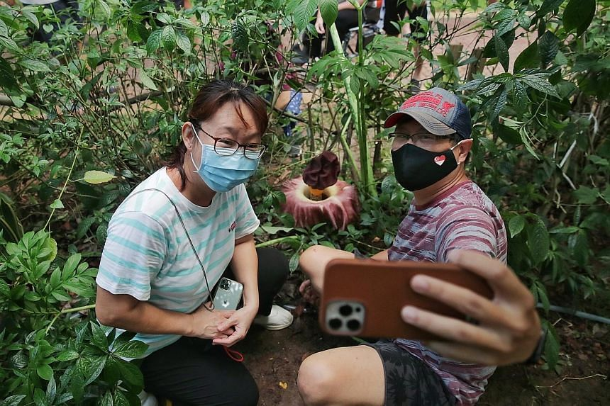 Doctor Soh Wah Ngee and his wife Lim Bee Har, a housewife, taking a selfie with the corpse flower of an exotic plant known as the elephant foot yam in Sembawang on Monday. Botanist Shawn Lum suspects that the flower may have been from a tuber that so