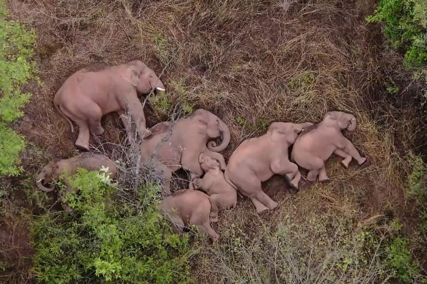 Elephants from a herd which had wandered 500km north from their natural habitat resting in a forest near Kunming, Yunnan province, on June 7, 2021.