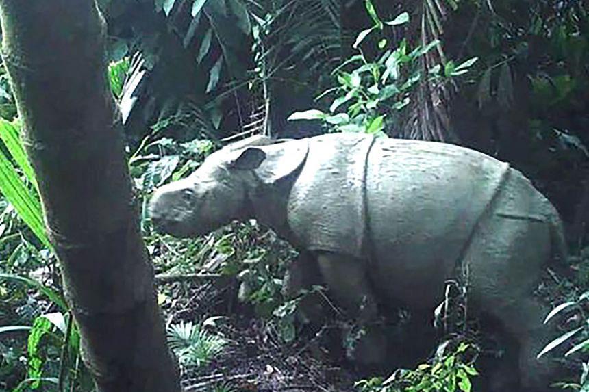 Javan rhinos have been hard hit by rampant poaching and human encroachment on their habitats.