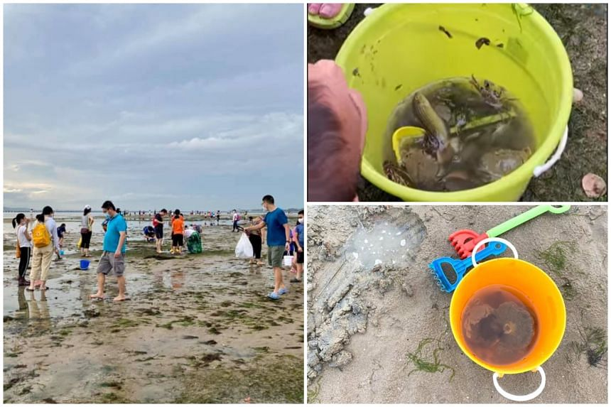 Crowds armed with pails, tongs and shovels were seen flocking to the intertidal areas of Changi Beach at low tide on June 13, 2021.