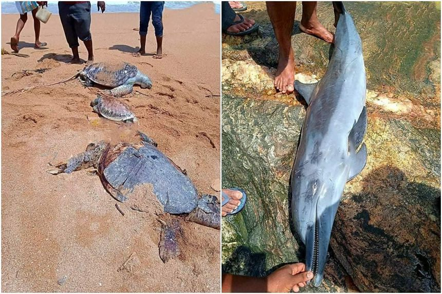 Carcasses of five dolphins and more than 30 sea turtles have been found along the western coast of Sri Lanka.