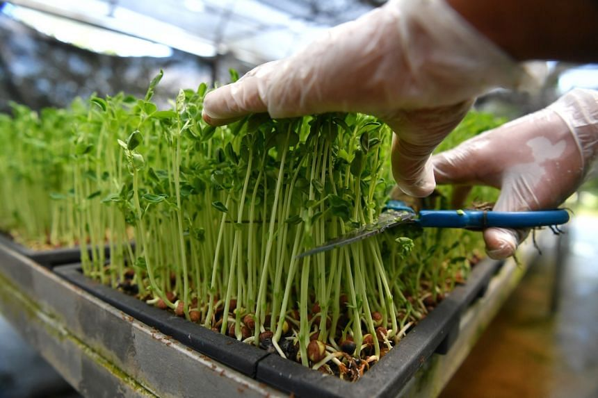 A worker harvests pea sprouts at Kin Yan Agrotech Farm.