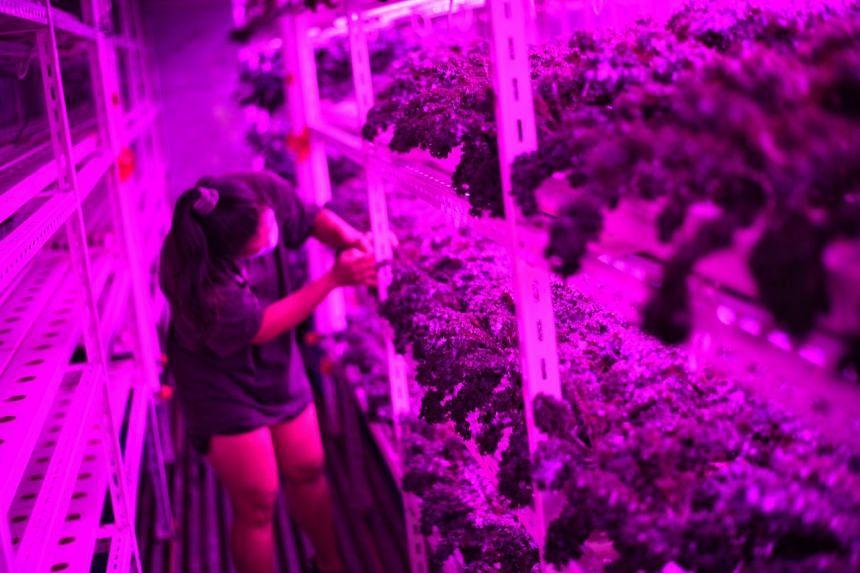 Edible Garden City Queenstown Farm has high-tech indoor gardening with grow lights.