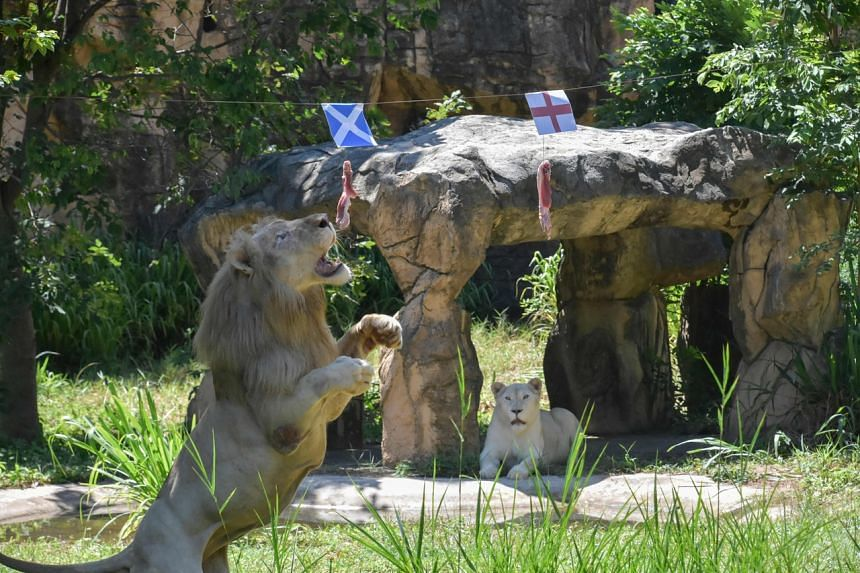 """Boy the """"psychic"""" lion has so far correctly called four Euro 2020 matches."""