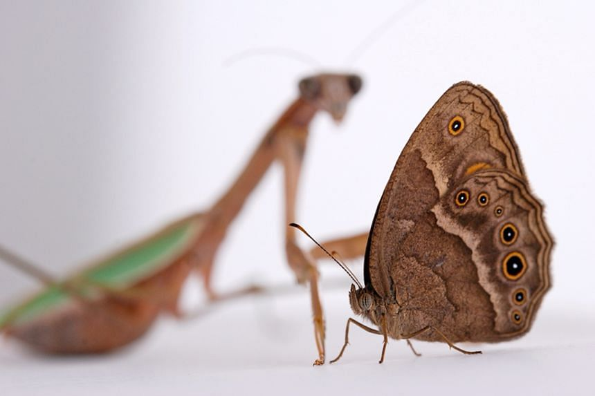 Bush brown butterflies with more forewing eyespots were found to be more prone to predator attacks.