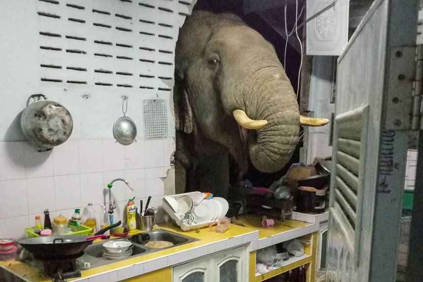 An elephant searching for food in the kitchen of Mr Kittichai Boodchan, in a photo taken by his wife, in Pa La-U, Hua Hin, Thailand.