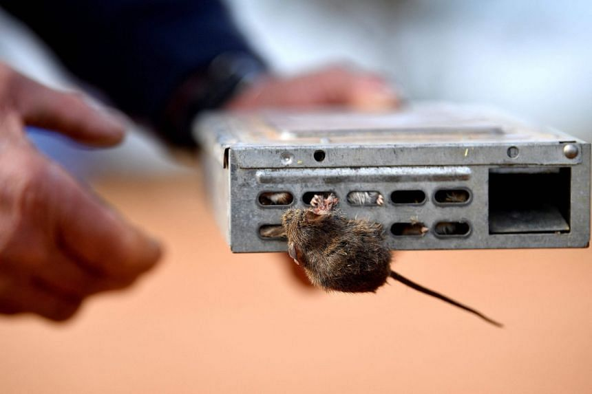 Farmers in eastern Australia are locked in an ongoing battle with hordes of mice that are pouring through fields and devouring crops.