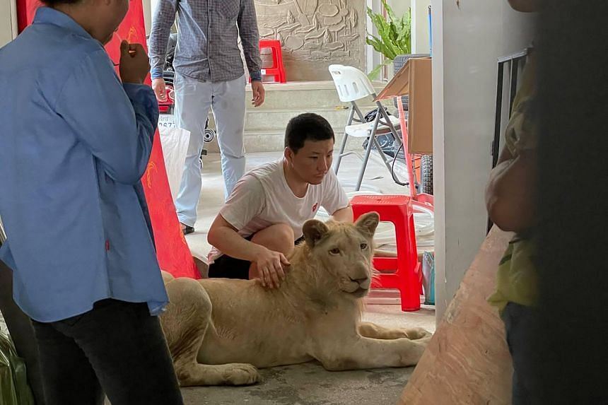 The lion had been imported from overseas by the owner to be raised in his home.