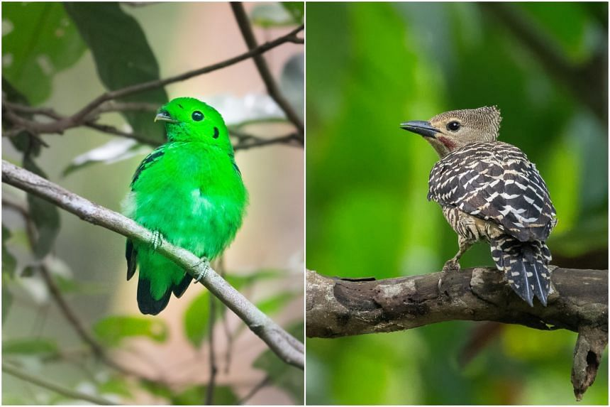 The green broadbill (left) and the buff-rumped woodpecker.