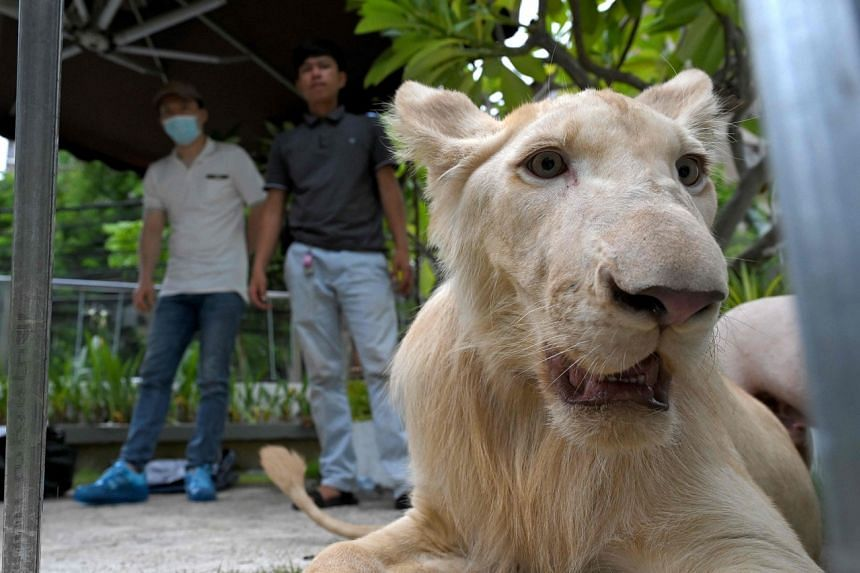 Mr Qi Xiao (far left), the owner of a defanged lion, looks at the big cat upon its controversial return to his home in Phnom Penh, on July 5, 2021.