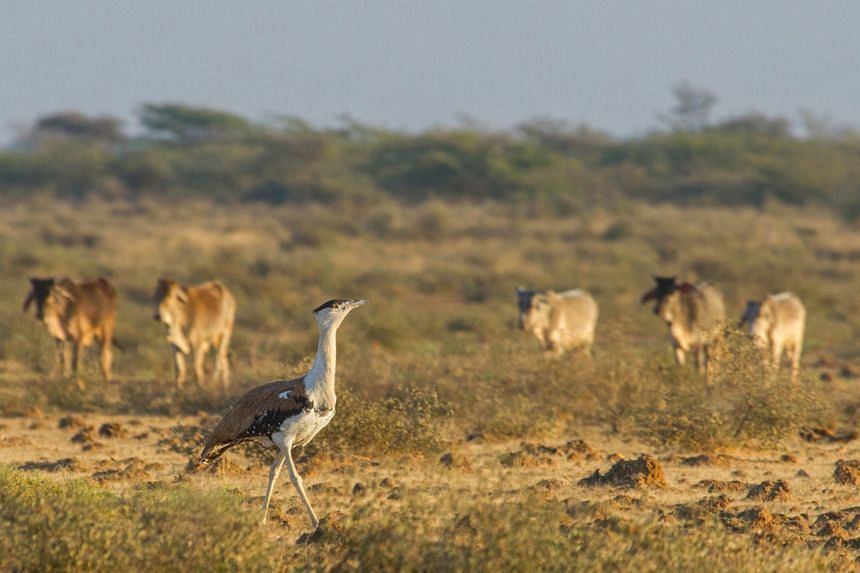 Less than 150 Great Indian Bustards remain in India, and it is estimated that 18 of them die each year due to collision with power lines.
