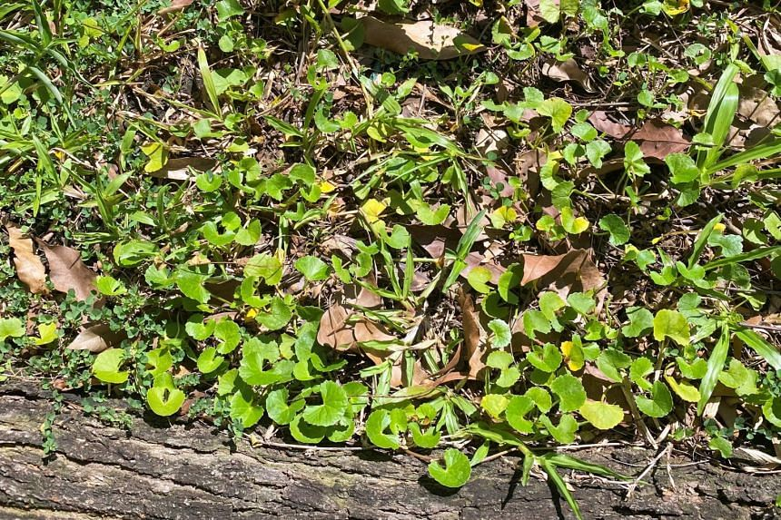 Indian Pennywort is a native plant of Singapore and valued for its medicinal properties.