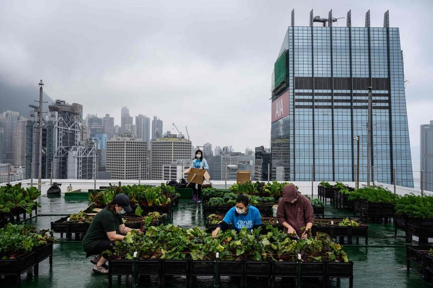 Rooftop Republic urban farmers harvest vegetables grown on a farm at the top of the Bank of America tower in Hong Kong on April 9, 2021.