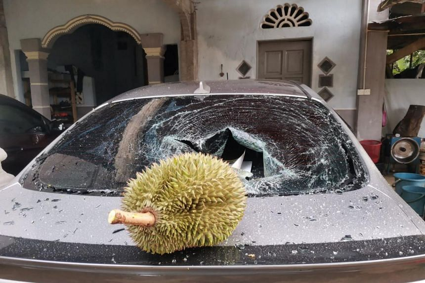 The durian landed a devastating blow when it fell on Mr Wan Mahussin Wan Zain's car and smashed the rear windshield.