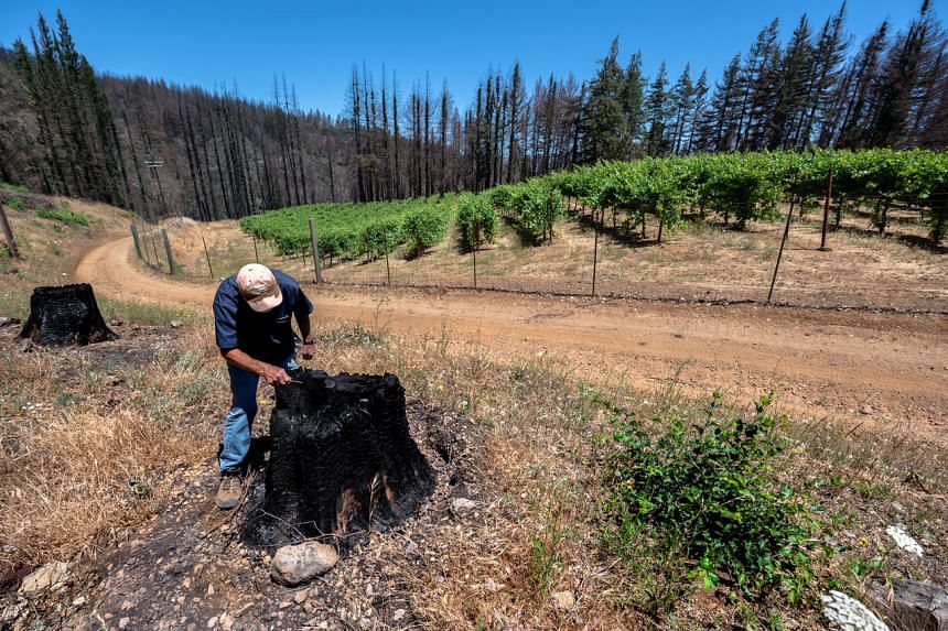 Mr Stuart Smith inspects burnt tree stumps near his vineyards in St. Helena, California, on June 23, 2021.