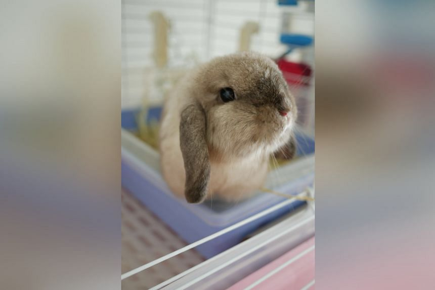 Some rabbits in Singapore were hit last year by rabbit haemorrhagic disease, a viral illness that had never been seen here before.