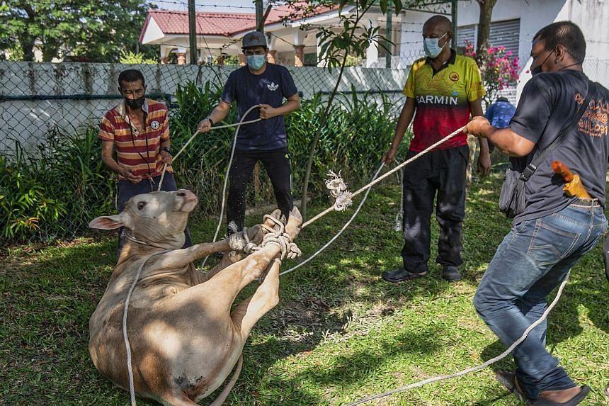 Malaysian Muslims tying up a cow ahead of its slaughter for Hari Raya Haji on July 20, 2021.