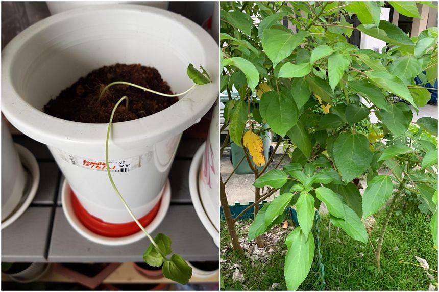 Roselle seedlings (left) and spiked pepper plant.