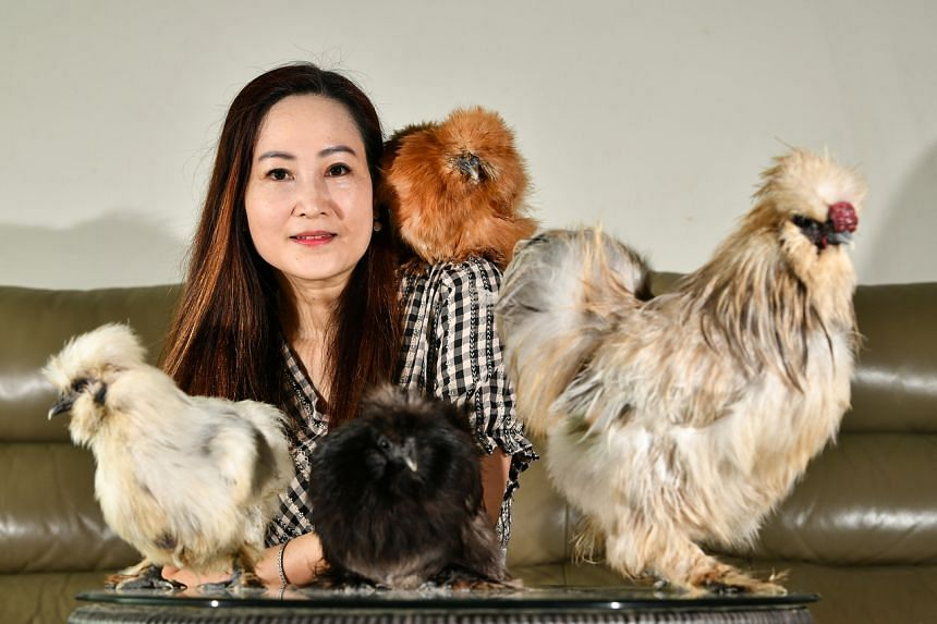 Owners such as Madam Ang are attracted to the docile nature of silkie chickens, which she likens to rabbits.