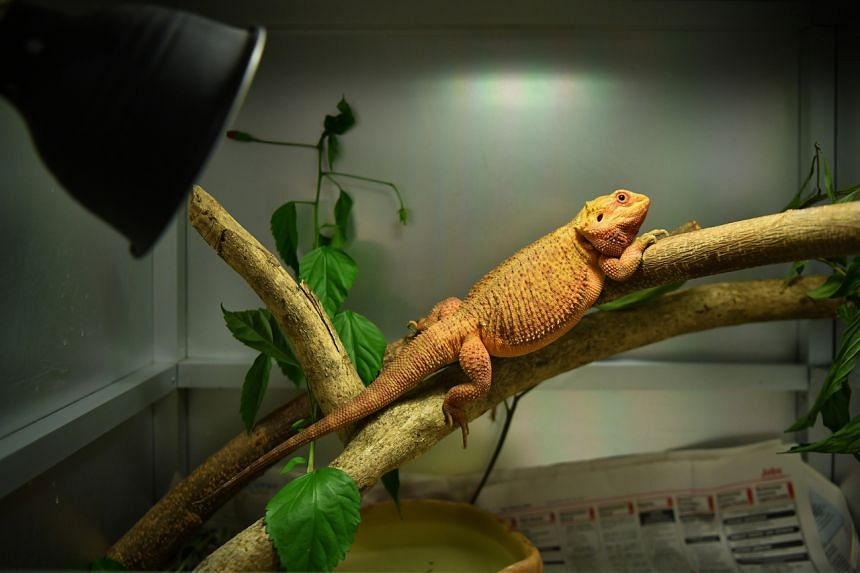 A Bearded Dragon inside its enclosure in Acres on July 24, 2021.