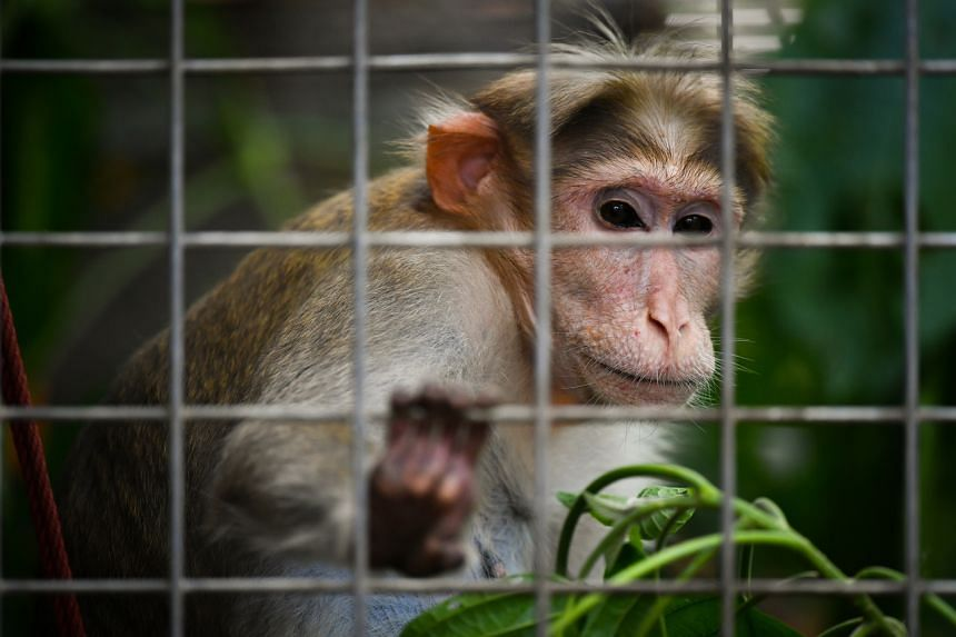 A Bonnet monkey inside her enclosure in Acres on July 24, 2021.
