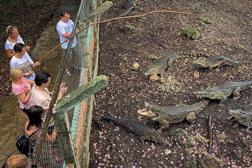 A group of tourists feeding Cuban crocodiles at a breeding centre in Cienaga de Zapata in June.