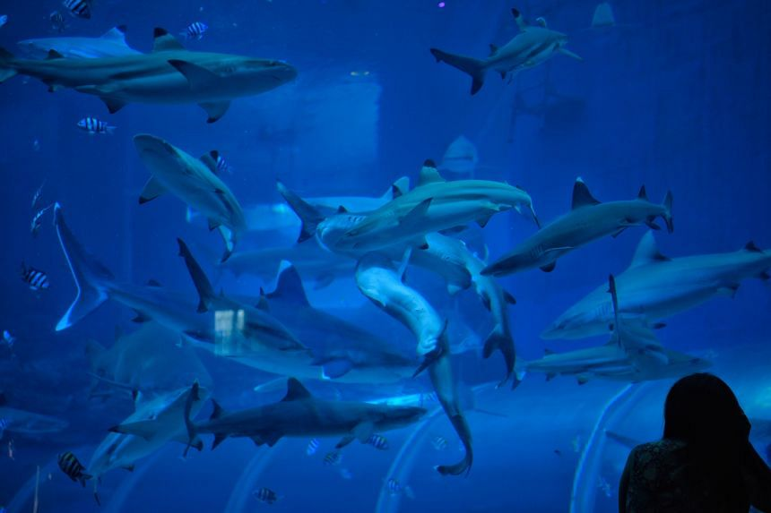 Sharks at the S.E.A Aquarium are well fed with large fish and seafood such as tuna, mackerel and squid.