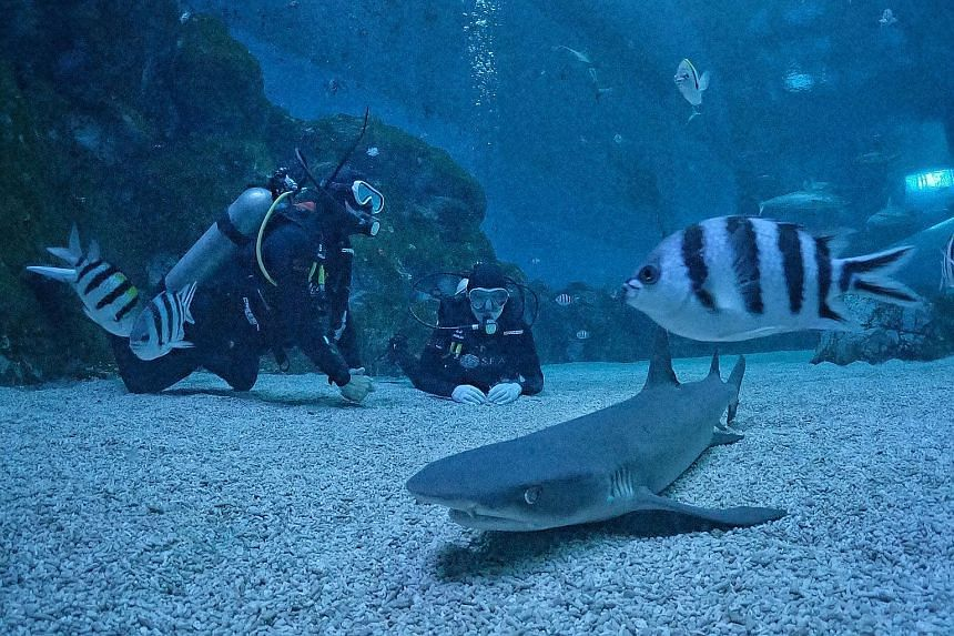 There are 12 shark species (above and far left) at the Shark Seas exhibit at Sentosa's S.E.A Aquarium, including the sand tiger shark (left).