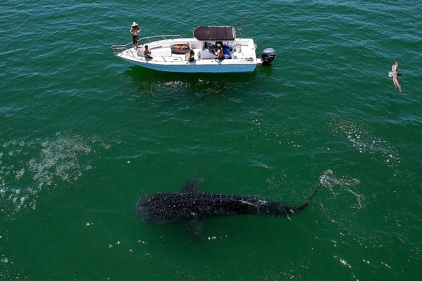 A whale shark (Rhincodon typus, above) in the Sea of Cortez (right) at Bahia de los Angeles in the state of Baja California, Mexico. The area is one of the best sites for the whale shark-sighting season, which kicked off last month and runs till Nove