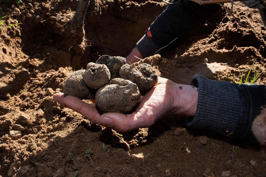 Mr Paul Miros holds some Black Winter Perigord truffles on the family farm, close to the town of Ceres, on July 15, 2021.