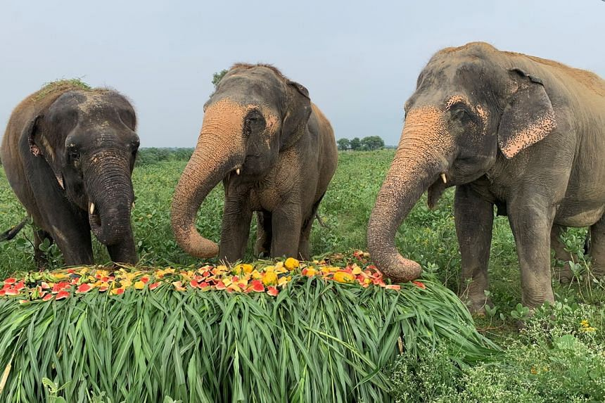 Rescued elephants eating fruits and vegetables at the Wildlife SOS Elephant Conservation and Care Centre in the northern town of Mathura, India, on Aug 8, 2021.