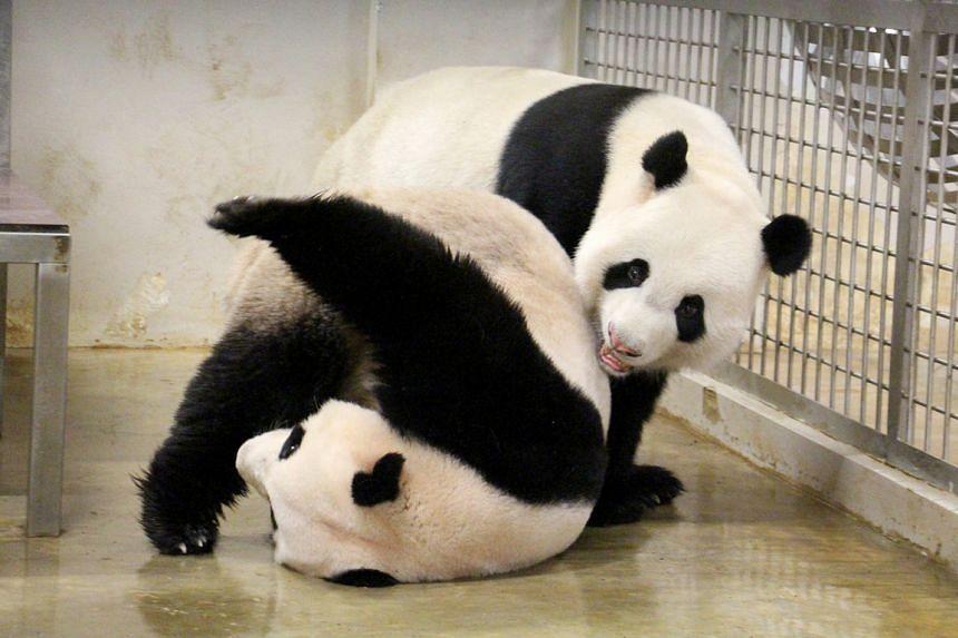 A 2015 photo shows Kai Kai (on top) frolicking with Jia Jia.